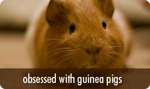obsessed with guinea_pigs